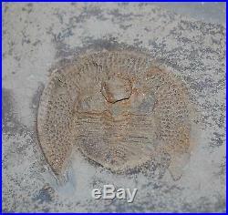Nankinolithus TRILOBITE Fossil 475 Million Years old #3183 19o